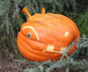 Herbivore Pumpkin ,  Nipomo Pumpkin Patch, carving idea