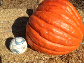 Nipomo Pumpkin Patch giant larger 20
